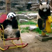 Ursi panda la Gradina Zoo din Beijing - Sursa - wordpress.com - O luna de vacanta